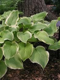 Fragrant Shade Plants - hosta u0027fragrant bouquet u0027 hostas pinterest plants and bouquets