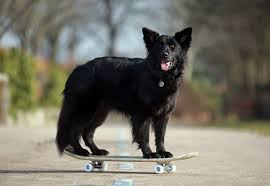 belgian sheepdog mixed with border collie dog trainer dai aoki has taught his dogs to do yoga and yes that