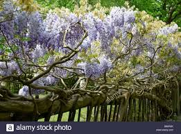 Wisteria Plant Stock Photos U0026 Wisteria Plant Stock Images Alamy