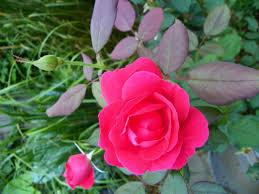 true confession my u0027winnipeg parks u0027 love affair u2013 garden drama
