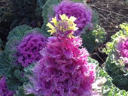 ornamental or flowering cabbage picture of the week plant