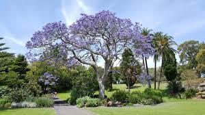 Botanic Garden Sydney Jacaranda Tree Picture Of The Royal Botanic Garden Sydney
