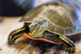 i want to keep a wild turtle should i