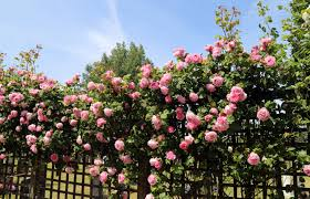 file cemetery pink rose trellis at theydon bois essex england 01