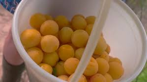 bucket of cherry plums small fruits of yellow color healthy food