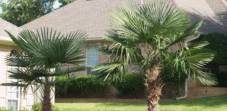 north texas native plants hardy palms for northeast texas east texas gardening