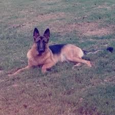 belgian shepherd 6 months german shepherd owners texasbowhunter com community discussion