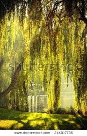 weeping landscape trees weeping willow weeping landscape trees