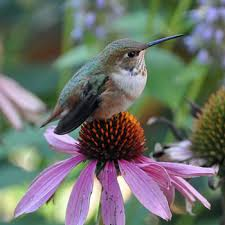 hummingbird flowers hummingbird plants plants for pollinators high country gardens
