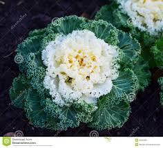 ornamental kale cabbage stock image image of flower 36320085