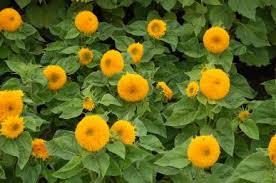teddy sunflowers seeds teddy