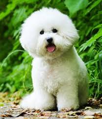 d douglas bichons frise basket of bichons looks like my charlie they are so very cute