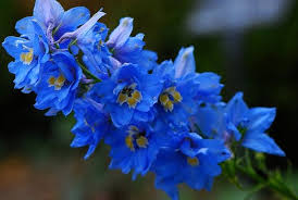 delphinium flower beautiful flowers delphinium flowers pictures meanings