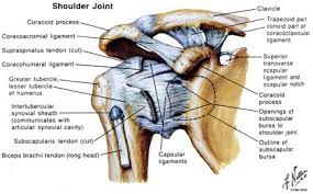 Anatomy Of Shoulder Muscles And Tendons Shoulder Doctors U0026 Surgeons Houston Orthopedic Shoulder Surgery