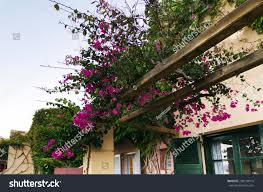 purple bougainvillea creeper flowering over pergola stock photo