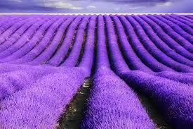 lavender flowers enticing world of lavender