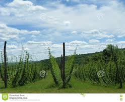 hops growing on trellis in field used for craft beer stock photo