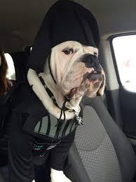 Halloween Costumes Bulldogs Bulldog Costumes