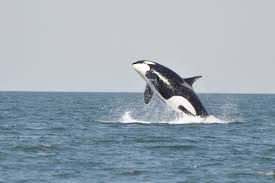 orcas facts about killer whales