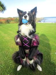 Halloween Skeleton Dog by Dog In Skeleton Halloween Costume Asha The Border Collie All