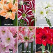 amaryllis flower free shipping amaryllis flower bulbs garden plants flowers