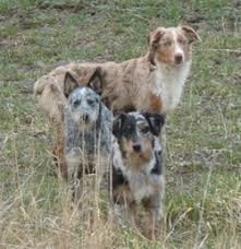 3 winds ranch australian shepherd base camp wanabe ranch