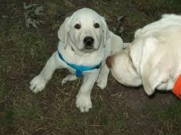 ad labrador retriever puppy sale iowa davenport usa