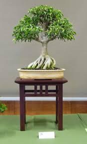 149 best bonsai images on pinterest bonsai trees bonsai plants