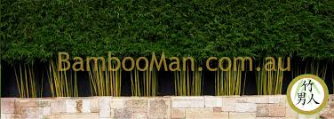 bamboo plants for hedging u0026 fence screening bambooman