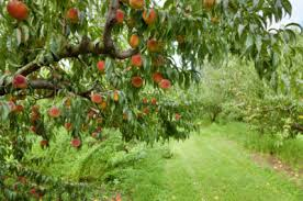 zone 8 fruit trees learn about fruit tree varieties for zone 8