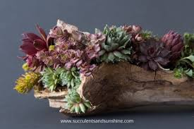 diy driftwood planter filled with succulents succulents and sunshine