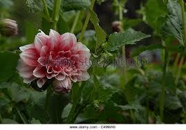 garden flower india stock photos u0026 garden flower india stock