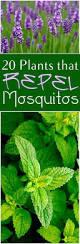 best 25 summer plants ideas on pinterest lemongrass mosquito