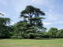 What Tree Is On The Lebanese Flag Music Can Save Lebanon U0027s Cedars Lifegate