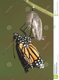 monarch butterfly emerging from its chrysalis royalty free stock