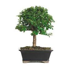 indoor bonsai trees for sale from soothing company