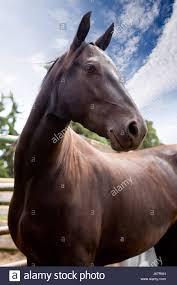 Nice Hourse Morgan Horse Stallion Stock Photos U0026 Morgan Horse Stallion Stock