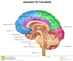 brain anatomy pictures 10 best ever perfect great pictures and