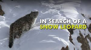 in search of a snow leopard unique stories from india