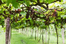 red grape vine in the yard stock photo picture and royalty free