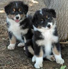 lifespan of australian shepherd alaskan shepherd info puppies temperament pictures