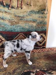 twin oaks 2 australian shepherd rolling hills farm aussies home facebook