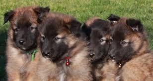 belgian sheepdog mix puppies belgian tervuren spockthedog com