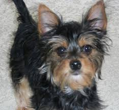 australian shepherd yorkie mix for sale 13 pictures of chihuahua yorkie mix a k a chorkie and breed
