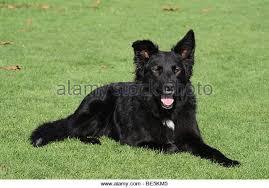 belgian sheepdog alberta border collie mix breed dog stock photos u0026 border collie mix breed