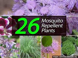 Patio Insect Repellent Best 25 Mosquito Repelling Plants Ideas On Pinterest Mosquito