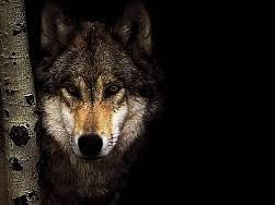 imagenes de fondo de pantalla lobos lobo negro fondo de pantalla fondos de pantalla gratis