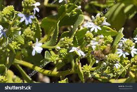 hardy native australian plants west australian native plant shining fan stock photo 335464388