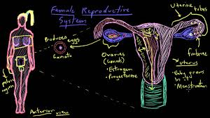 Anatomy Of The Female Reproductive System Pictures Khan Academy Anatomy Of The Female Reproductive System Youtube