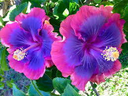 Which State Has A Hibiscus by Best 25 Hibiscus Flowers Ideas Only On Pinterest Hawaii Flowers